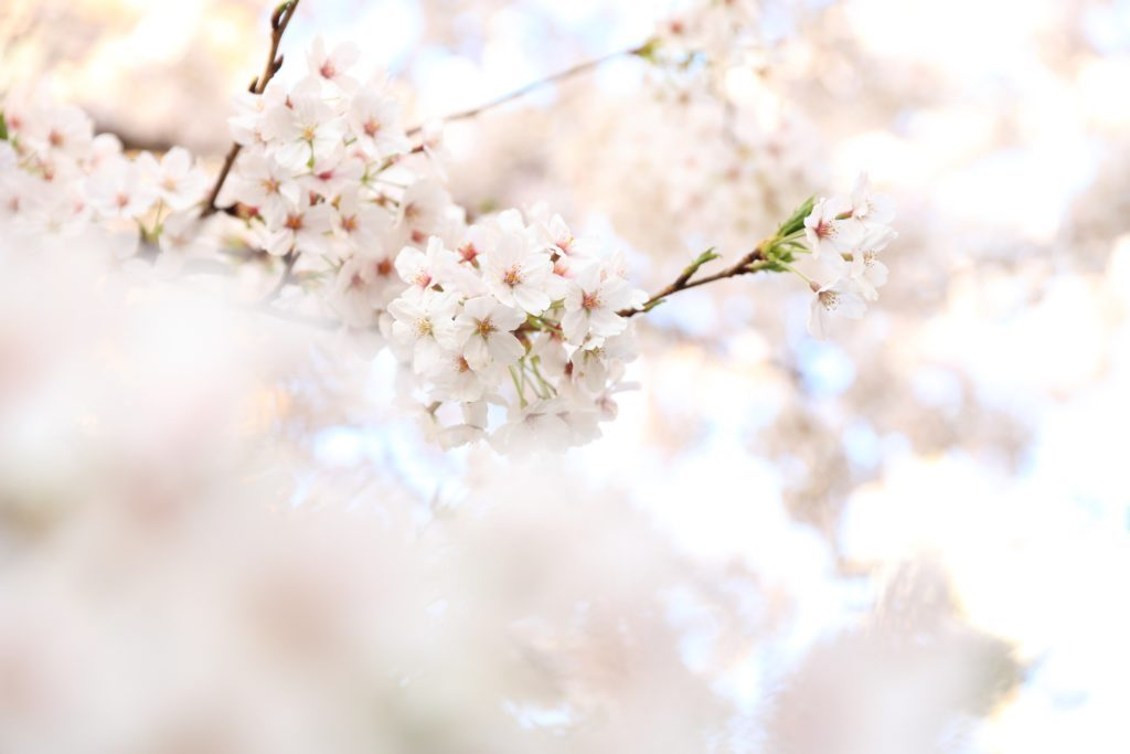 Cherry Blossoms Mei Zen Cosmetic Acupuncture